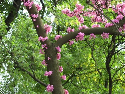Drzewo judaszowe (Z cyklu: Rośliny Biblijne)